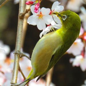 枝垂れ桜でお食事