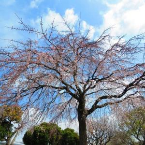 枝垂れ桜でもぐもぐタイムは ?