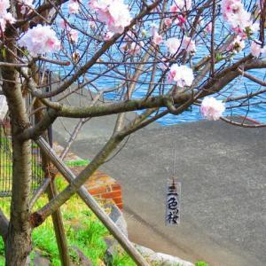 三色桜 知ってる ?