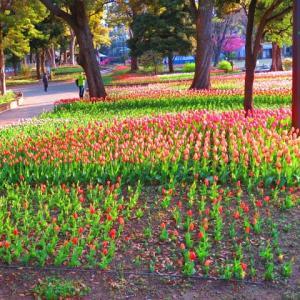 横浜公園のチューリップの今