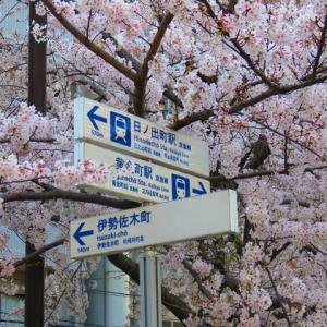 昨日の大岡川の桜