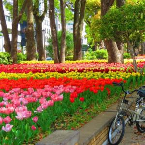 横浜公園のチューリップ 今が見頃かな