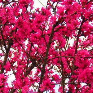 花。花。花水木