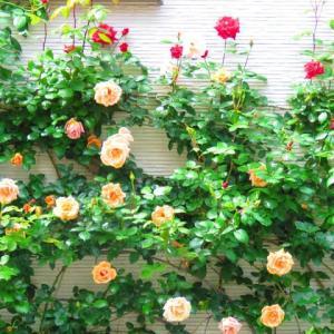 薔薇が咲いた。真っ赤な薔薇も