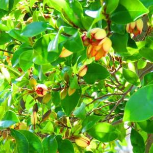 バナナの木が満開に