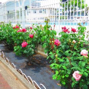 岡野公園の嵐の前の薔薇