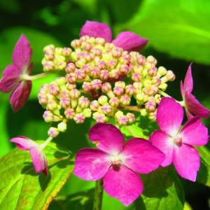 山紫陽花で一句