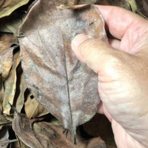 柿の葉の処理方法