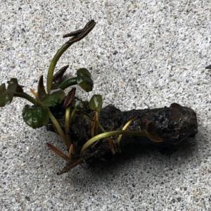 温帯睡蓮の植え替え
