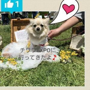 チワワEXPO 2019 行ってきました⤴