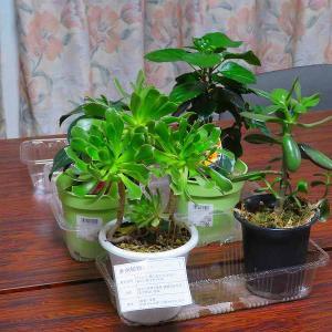 多肉植物 アオエニウム