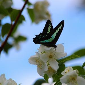 今年初見のアゲハ蝶