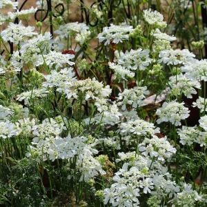 レースのような花、イベリス