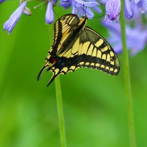 キアゲハとミツバチ