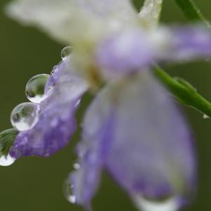 チドリソウ雨に濡れて