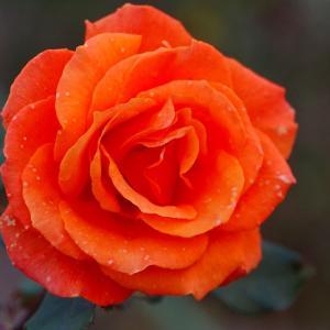 夕方の薔薇