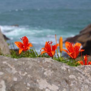海辺に咲く百合
