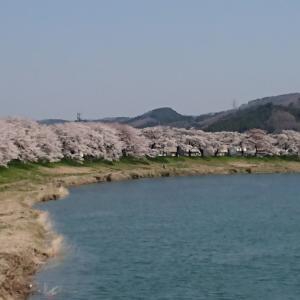早くも今年も桜祭りが