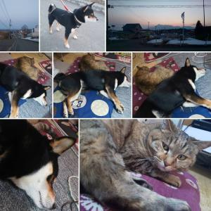 夕方の散歩と、仲良し犬🐶猫😺