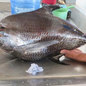 何て魚?(フィリピン・ボホール島・レイテ島)