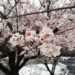 定点観測の梅、雪の中で花ざかり