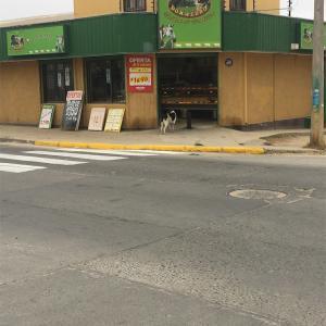 チリの犬⑦