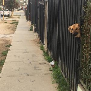 チリの犬達11