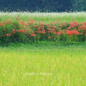 毛呂山町の風景*秋花巡るサイクリングday-6