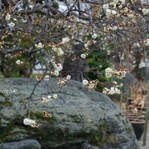 飯能市の花*家チカで冬の花散歩No.1