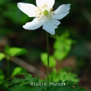 飯能市の花*朝時間で花散歩Prat2-吾妻峡の花