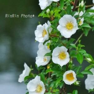 飯能市の花*夕時間の花散歩No.1