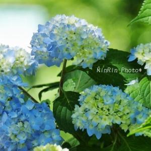 飯能市の花*チャリ散歩でいろいろ-能仁寺