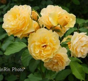 飯能市の花*5月最終日のチャリ散歩in薔薇の庭再訪2