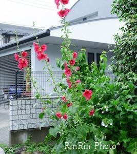 飯能市の花*6月の家チカ花散歩-家の花