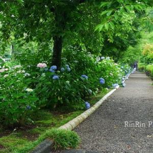 飯能市の花*6月の家チカ花散歩-能仁寺