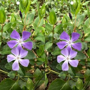 ツルニチニチソウの花を立体視して視力回復トレーニング