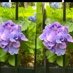 紫のアジサイを立体視して視力回復トレーニング