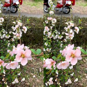ボケの花の立体視写真で視力回復トレーニング