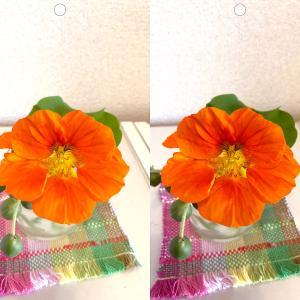 ナスタチウムの花の立体視写真で視力回復トレーニング