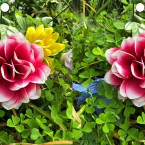 彩り鮮やかな花(グロキシアの1種?)の立体視写真で視力回復トレーニング