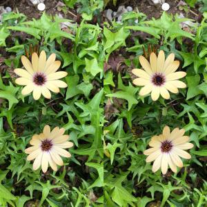 花(オステオスペルマム)の立体視写真で視力回復トレーニング