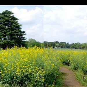 菜の花畑の立体視写真(平行法・交差法)で視力回復 トレーニング!