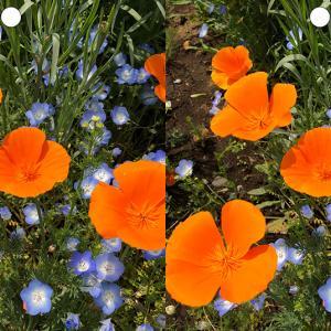 花の立体視写真で視力回復トレーニング(ハナビシソウ)