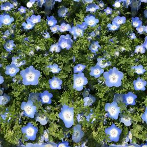花(ネモフィラ・インシグニス)を立体視で見下ろしながら視力回復トレーニングできる写真 #02