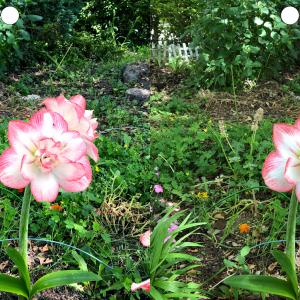 立体視画像(花:アマリリス)~鮮やかな色と臨場感を楽しみながら視力回復トレーニングにも!