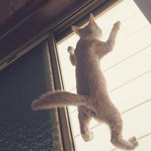 やんちゃ猫 網戸かけ登る