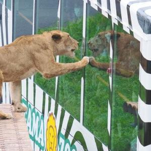 サファリパークで、ライオンがバスの中に飛び込んできた結果・・・