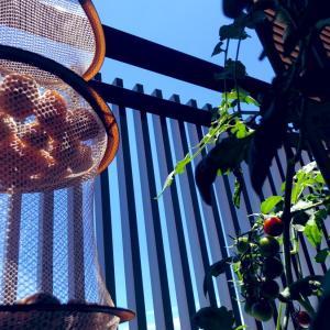 家庭菜園2021年 プチトマトの2本仕立て成功!