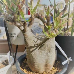 塊根植物(コーデックス)|絶滅させない為にできること。