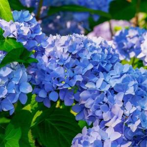アジサイ(紫陽花)の花|土が酸性なら青、アルカリ性は赤になる理由